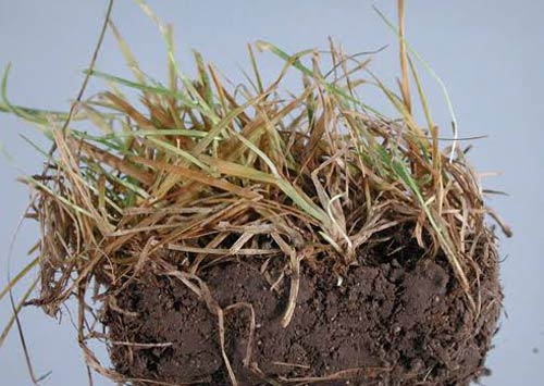 Turfgrass Root health